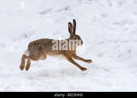 Hase läuft im Winter Feld - Stockfoto