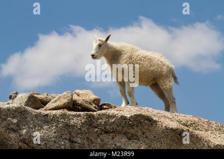 Eine junge Ziege oder Zicklein an 14,270' in Colorado. Bergziegen (Oreamnos americanus) bewohnen einige der unwirtlichsten - Stockfoto