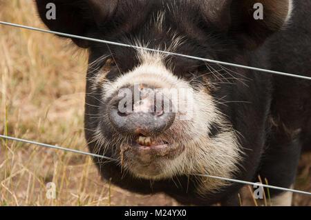 Niedlich Schwein Draht Fotos - Elektrische ...