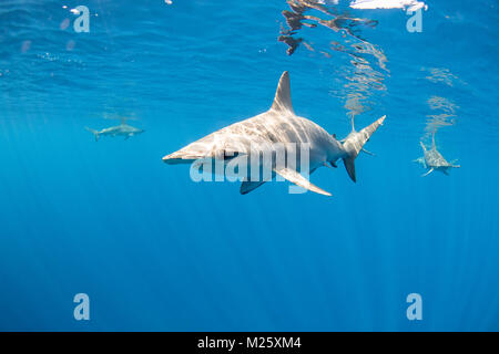Schulen von Hammerhaien Form vor der Küste von Kona, Hawaii jedes Jahr. - Stockfoto