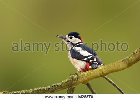 Männliche Buntspecht (Dendrocopos major) auf einem Ast im Herbst in Arundel, West Sussex, England, Großbritannien - Stockfoto