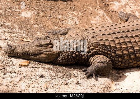 Blick auf ein faules Krokodil oder Alligator - Stockfoto