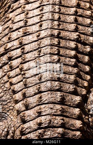Blick auf die Rückseite der Lazy crocodile oder Alligator - Stockfoto