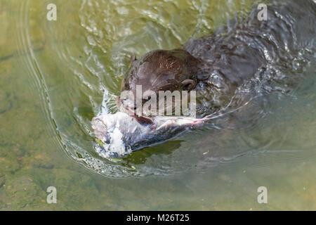 Glatte beschichtete Otter, Leiter der Wels mit Familie am Ufer zu teilen, Singapur - Stockfoto
