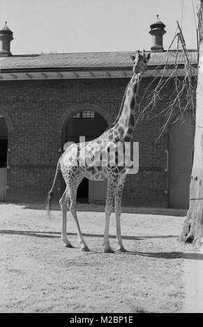 1940 s, London Zoo, Außen, historische Bild einer Giraffe stehend außerhalb seiner lebendigen Unterkunft, die Giraffe - Stockfoto