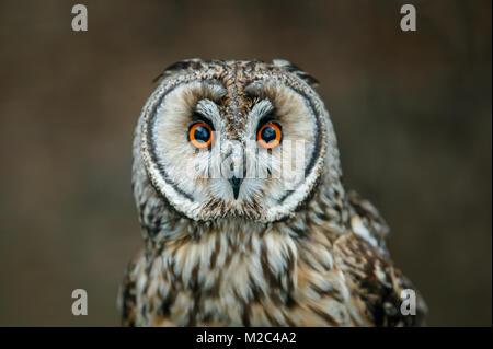 Eine kurze eared owl portrait - Stockfoto