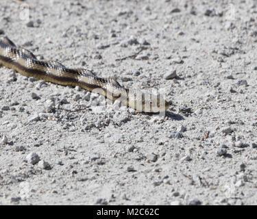 Nahaufnahme von Florida Ratte Schlange - Stockfoto