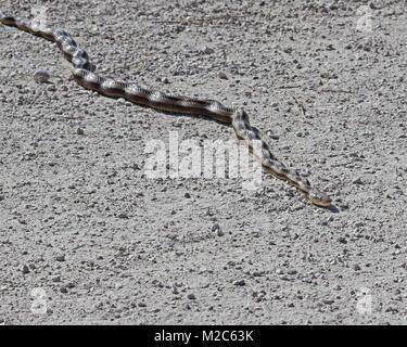 Erschrocken gelbe Ratte Schlange auf Trail am Sweetwater Wetlands Park in Florida hält perfekt in geknickt Haltung - Stockfoto