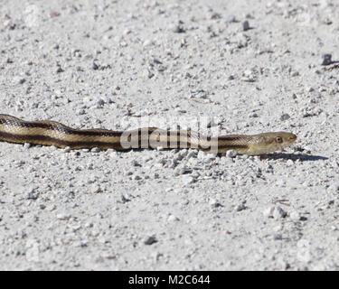 Nahaufnahme der kleine gelbe Ratte Schlange Überqueren einer Straße in Sweetwater Wetlands Park, Florida - Stockfoto