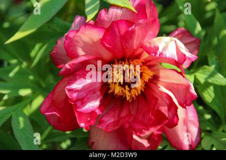 Pfingstrose Grosse Blumen Kopf Nahaufnahme Schönheit, Hybrid Julia Rose, Hillary - Stockfoto