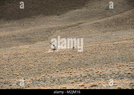 Wenn wanderten sie über den Altai Bergen, den Kasachen eine Jahrhunderte alte Tradition der Jagd mit goldenen Adler - Stockfoto