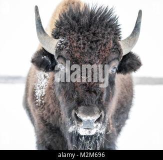 Plains Bisons (Bison bison Bison) oder American Buffalo, im Winter, Riding Mountain National Park, Manitoba, Kanada. - Stockfoto