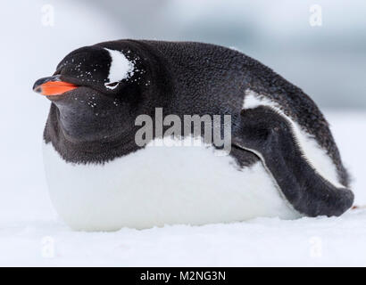 Long-tailed Gentoo Pinguin; Pygoscelis papua; Cuverville Island; Antarktis - Stockfoto