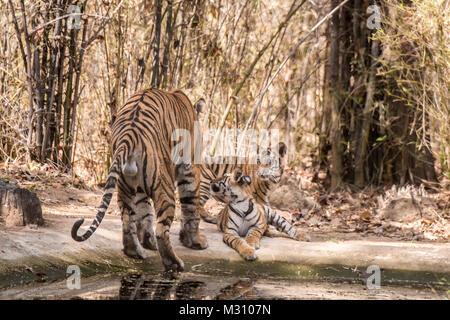 Ansicht der Rückseite des männlichen Bengal Tiger, Panthera tigris Tigris, mit seinen zwei Jungen seinen Hodensack - Stockfoto