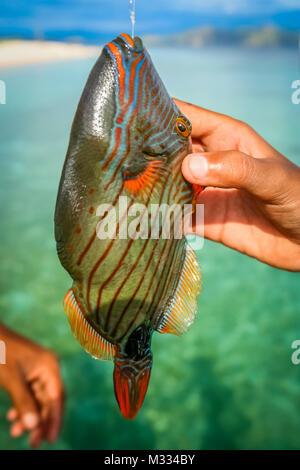 Bunte tropische Fische gefangen om eine Angelrute durch einen Fischer an der Küste der Insel Flores in Indonesien - Stockfoto