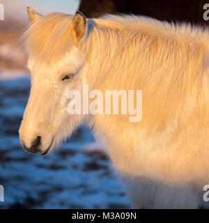 Porträt der schönen weißen Islandpferd unter natürlichen Sonnenaufgang Licht. - Stockfoto