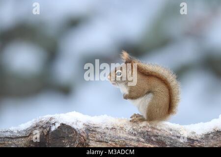 Ein wenig Amerikanische rote Eichhörnchen Tamiasciurus hudsonicus Sitzen auf einem schneebedeckten Zweig an einem - Stockfoto