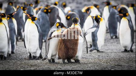 Eine Gruppe erwachsener König Pinguine mit einem Jugendlichen auf Salisbury Plain, South Georgia. - Stockfoto