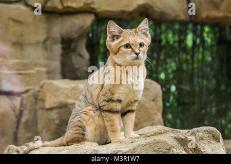 Sand cat auf Felsen in der Nähe die Gesichtsmerkmale - Stockfoto