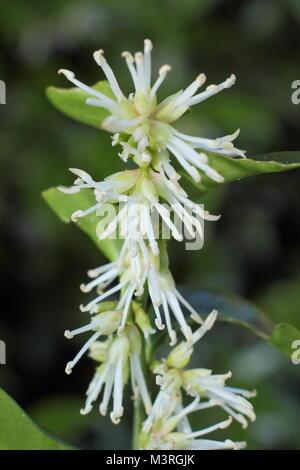 Sarcococca wallichii, auch genannt Weihnachten, oder Süß, in der Blume in einer britischen Wintergarten - Stockfoto
