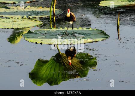 Kamm-Crested Jacana, auch als Lotus Vogel oder Lily - Trotter bekannt, stehend auf einem Lotus Blatt im Gelben Fluss, - Stockfoto