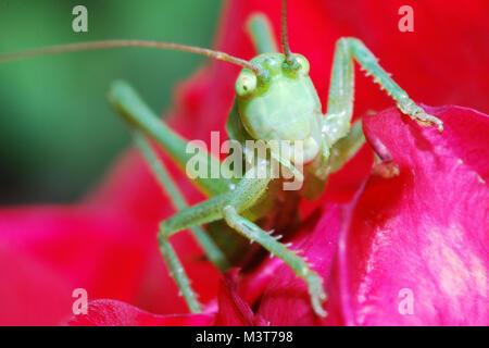 Grüne Heuschrecke sieht ganz groß in der Kamera - Stockfoto