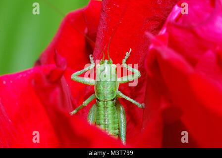 Grüne Heuschrecke kommt aus rote Blüte - Stockfoto