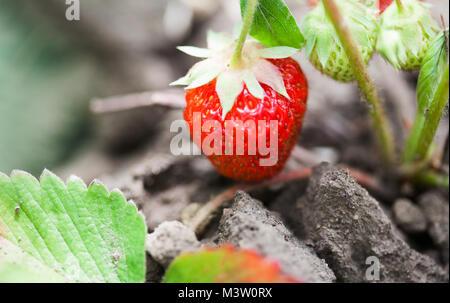 Wachsende Erdbeeren im Garten. Rohe rote Beere Makro anzeigen. geringe Tiefenschärfe, Soft Focus. - Stockfoto