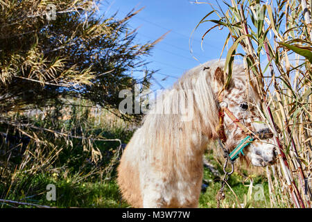 Pony in einem Feld, Andalusien, Rio Chillar - Stockfoto