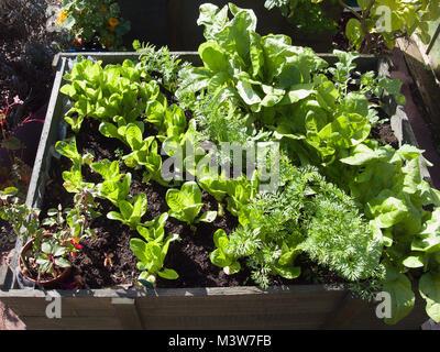 Salat Gemüse wächst in einem kleinen gehobenen hölzernen Pflanzmaschine für einfache Wartung und Kommissionierung - Stockfoto