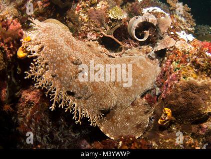 Wobbegongs, oder Teppich Haie, sind gemeinsame reef Bewohner in vielen Bereichen des Südpazifik - Stockfoto