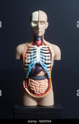 Menschliche Körper Anatomie Modell auf schwarzem Hintergrund - Stockfoto