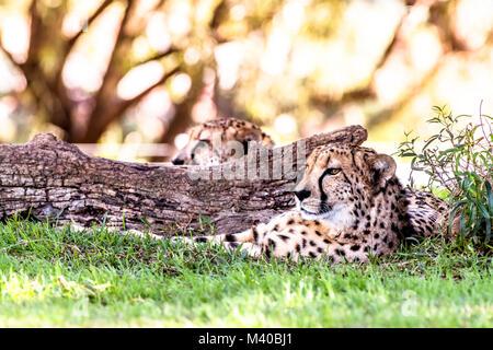 Eine leistungsstarke und schnelle Gepard liegt neben einer in einem schattigen Bereich während einer Safari anmelden - Stockfoto
