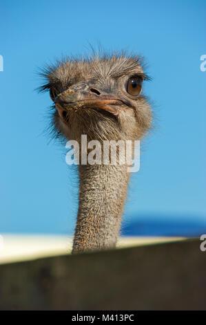 Strauß close-up. Angesichts einer Strauß Vogel aus der Nähe und persönlich. - Stockfoto