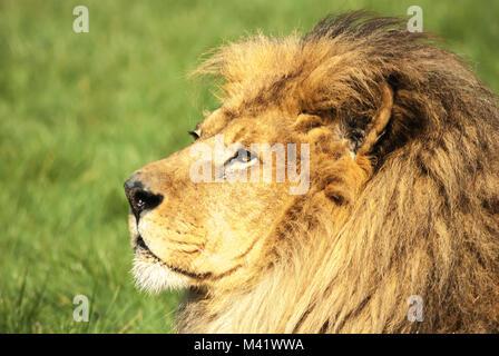 Landschaft Bild einer unverlierbaren männlicher afrikanischer Löwe Panthera leo, bei Blackpool Zoon, Lancashire, - Stockfoto