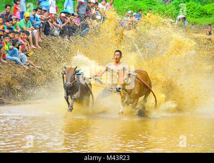 Aufwachraum Jawi ist eine Kuh-Racing Event in West Sumatra. - Stockfoto