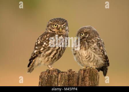 Zwei Steinkäuze (Athene noctua), die alten und jungen Tier auf Baumstumpf, Rheinland-Pfalz, Deutschland - Stockfoto