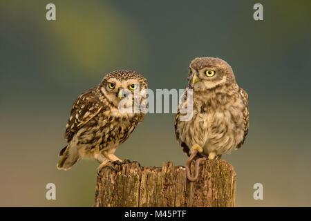 Zwei Steinkäuze (Athene noctua), alte Tier- und junge Tier auf Baumstumpf, Rheinland-Pfalz, Deutschland - Stockfoto