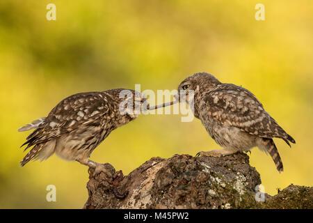 Zwei Steinkäuze (Athene noctua), die alten und jungen Tier mit Regenwurm als Beute, Rheinland-Pfalz, Deutschland