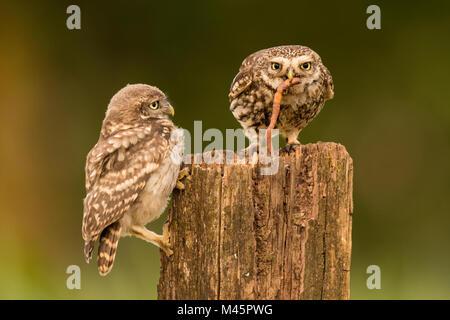 Zwei Steinkäuze (Athene noctua), alte Tier- und junge Tier auf Baumstumpf mit Regenwurm als Beute sitzen, Rheinland - Stockfoto