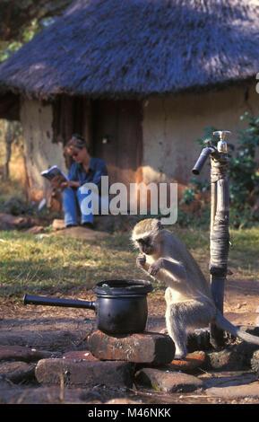 Simbabwe. Mavuradonna Wilderness Area. Frau rbeim Lesen der. Meerkatze (Cercopithecus aethiops) Essen vom Topf. - Stockfoto