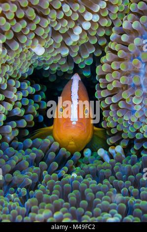 Orange anemonenfischen Amphiprion (sandaracinos) in seinem Wirt Mertens' Teppich Seeanemone (Stichodactyla mertensii). - Stockfoto