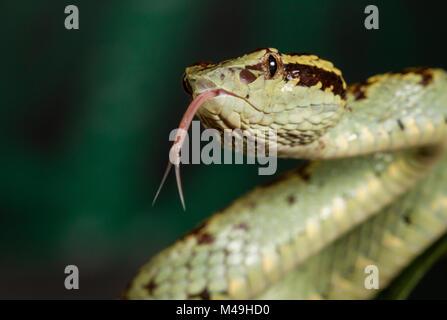 Trimeresurus Malabaricus Malabar Grubenotter Giftige Dorsal