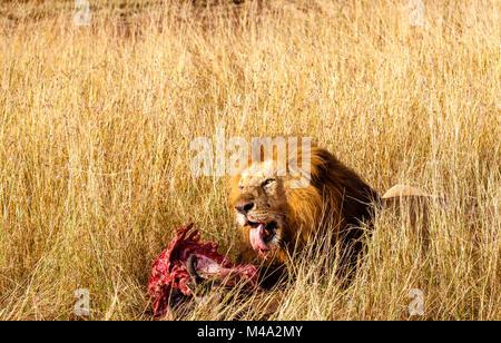Reife männliche Löwe (Panthera leo) frisst seine Beute, die roten blutigen Rippen der Kadaver eines Büffel, im langen - Stockfoto