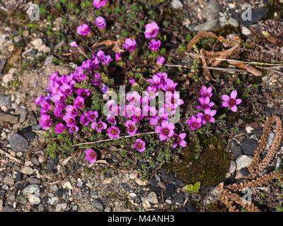 Saxifraga oppositifolia oder Purple mountain Steinbrech eine alpine, Arktis Anlage mit intensiven violetten Blüten - Stockfoto