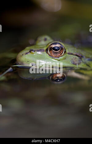Essbarer Frosch, Rana kl.esculenta, der die Wasseroberfläche eines Teiches bricht. Frankreich, 2016 - Stockfoto