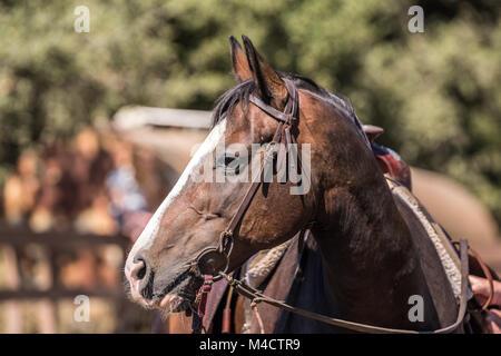 Braun Quarter Horse Nahaufnahme - Stockfoto