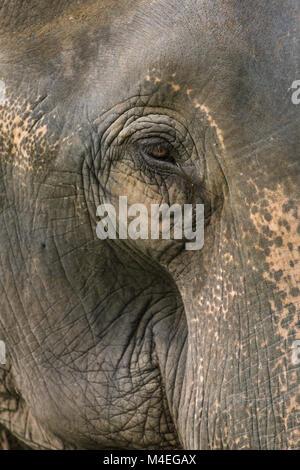 Eine Nahaufnahme Foto eines Elefanten Augen, Wimpern, Falten und Gesicht. In Jaldapara Nationalpark im Nordosten - Stockfoto