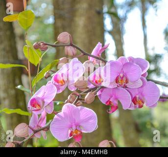 Rosa Orchidee - Stockfoto