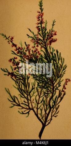 Atlas de la Flora alpine (1899) (19720859344)